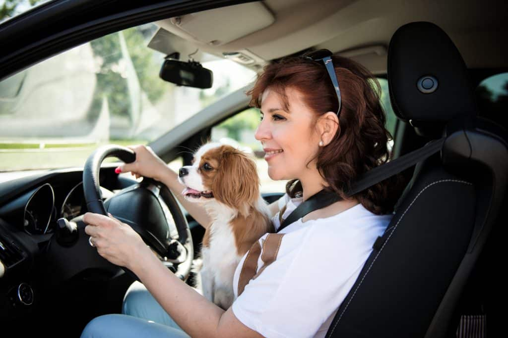 Mature woman and her cavalier dog together behind steering drive car