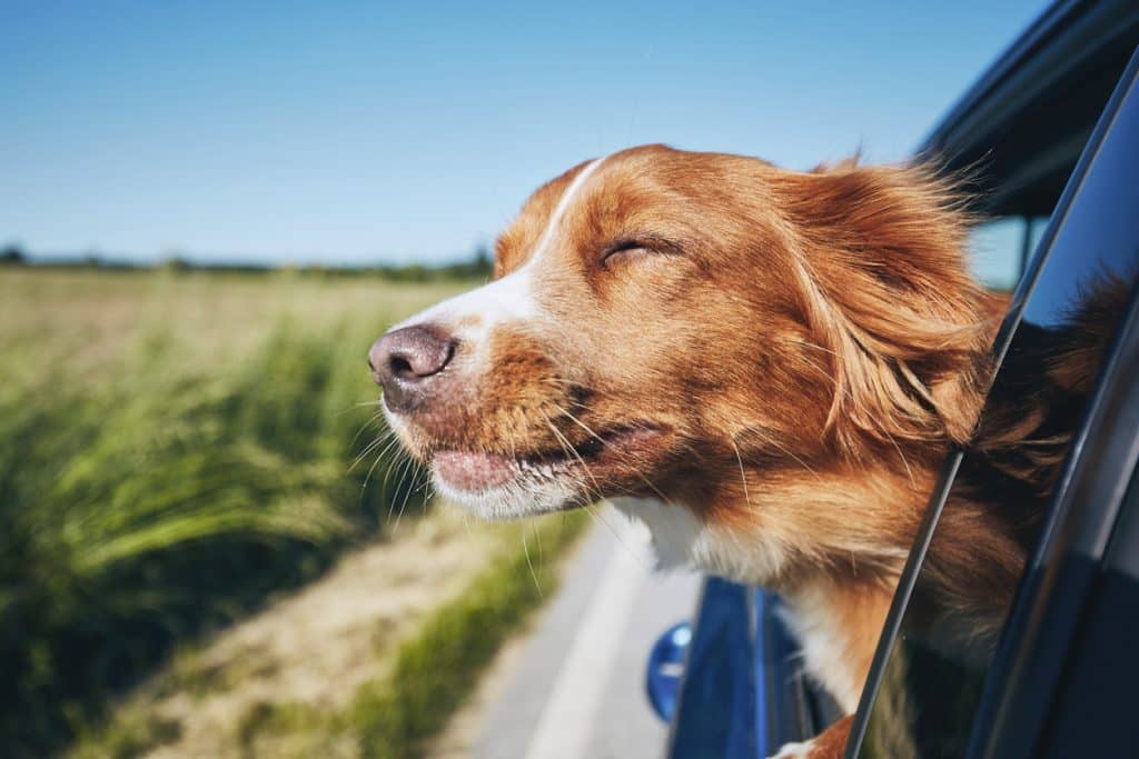 Dog travel by car. Nova Scotia Duck Tolling Retriever enjoying road trip.
