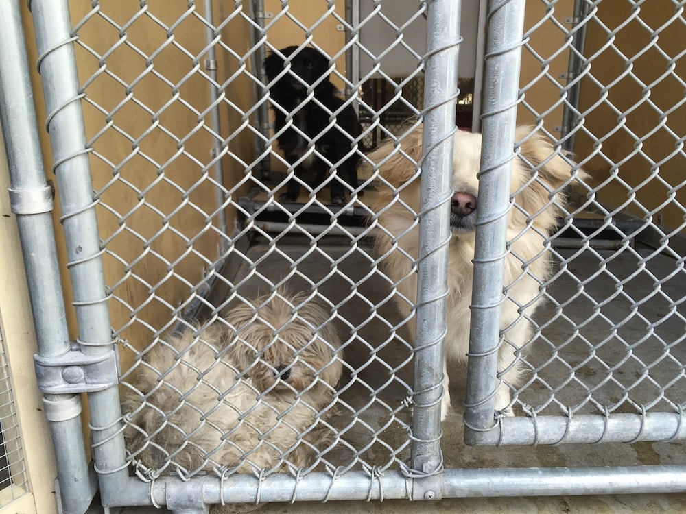 Two white dogs in a shelter cage